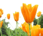 100orange_flower.jpg